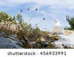 The Herring Gull  Larus...