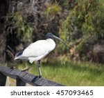 a majestic sacred ibis... | Shutterstock . vector #457093465