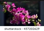 showy ornamental bracted ... | Shutterstock . vector #457202629