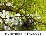 Weeping Willow Beside Water
