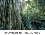 The Famous Curtain Fig Tree...