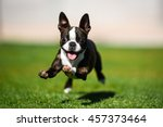 Boston Terrier Puppy Running...