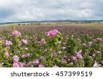 Stock photo  pink damask rose bush closeup on field background local focus shallow dof 457399519