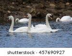 mute swan  cygnus olor | Shutterstock . vector #457690927