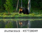 Stock photo big brown bear walking around lake in the morning light dangerous animal in the forest with 457728049