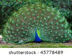 Beautiful Indian Peacock With...