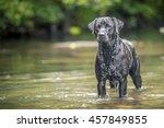 Stock photo black labrador in river wales 457849855