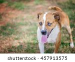 blue eyed mixed breed dog in... | Shutterstock . vector #457913575