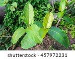 mitragyna speciosa  kratom ... | Shutterstock . vector #457972231