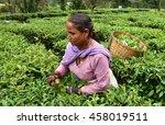 woman plucking fresh tea leaves ... | Shutterstock . vector #458019511