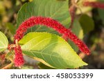 Small photo of Red hot cat's tail's flower blooming(Acalypha hispida)