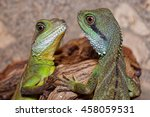 Two Young Chinese Water Dragon...