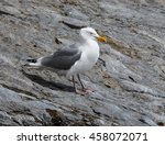 Small photo of American Herring Gull Standing on the Rock