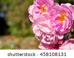 pink roses close up  selective... | Shutterstock . vector #458108131