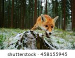 red fox in the nature forest... | Shutterstock . vector #458155945