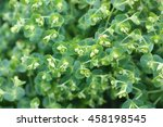Small photo of Euphorbia characias (Mediterranean Spurge or Albanian spurge, species of flowering plant in the Euphorbiaceae family typical of the Mediterranean vegetation
