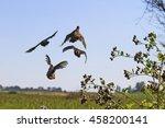 flock of gray partridges flies... | Shutterstock . vector #458200141