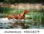 Beautiful Vizsla Dog Runs On...