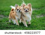 Two Longhair Chihuahua  Dog In...