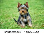 close yorkshire terrier dog in... | Shutterstock . vector #458223655