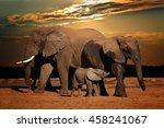 Stock photo baby african elephant loxodonta africana suckling with its parents in late afternoon addo 458241067