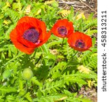 blossoming red poppy flowers on ... | Shutterstock . vector #458313211