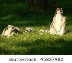 two lemurs  lemur catta    Shutterstock . vector #45837982
