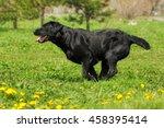 Black Dog Labrador Retriever...