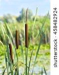 Wetland Plant Typha Latifolia ...