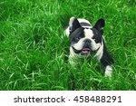 cute bulldog on green grass in... | Shutterstock . vector #458488291