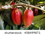 Small photo of a cacao bean plantation in the village of Chuao in the National Park Hanri Pittier at the caribbean coast in venezuela in southamerika