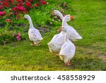 White Gooses On A Green Grass...
