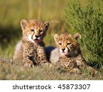 Stock photo cheetah cubs 45873307