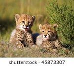 cheetah cubs | Shutterstock . vector #45873307