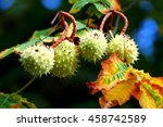 Conkers Growing On A Horse...