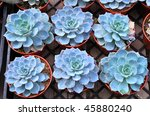 group of young echeveria... | Shutterstock . vector #45880240