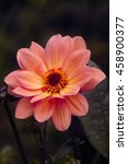 Coral Pink Peony Flowering...