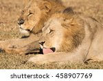 Young Adult Male Lion In...