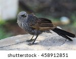 Small photo of An Apostlebird sitting on a rock, outback Australia.