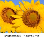 Closeup Of Two Sunflower...