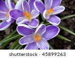 spring crocus flower | Shutterstock . vector #45899263