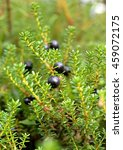Small photo of Ripe black berries crowberry (lat. Empetrum), closeup