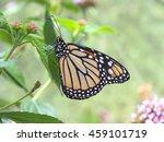 Monarch Butterfly  Danaus...