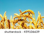 A Field Of Golden Wheat And...