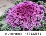 Purple Ornamental Cabbage And...