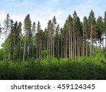 Forest Of Tall Spruces And Som...