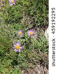 Small photo of Alpine aster
