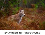 Wild Cat Lynx In The Nature...