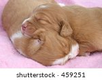 1 week old NSDTR Puppy Sleeping