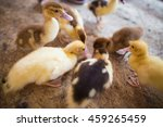 Little Yellow Fluffy Ducklings...